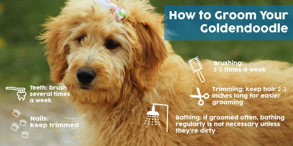 How to Groom you Goldendoodle