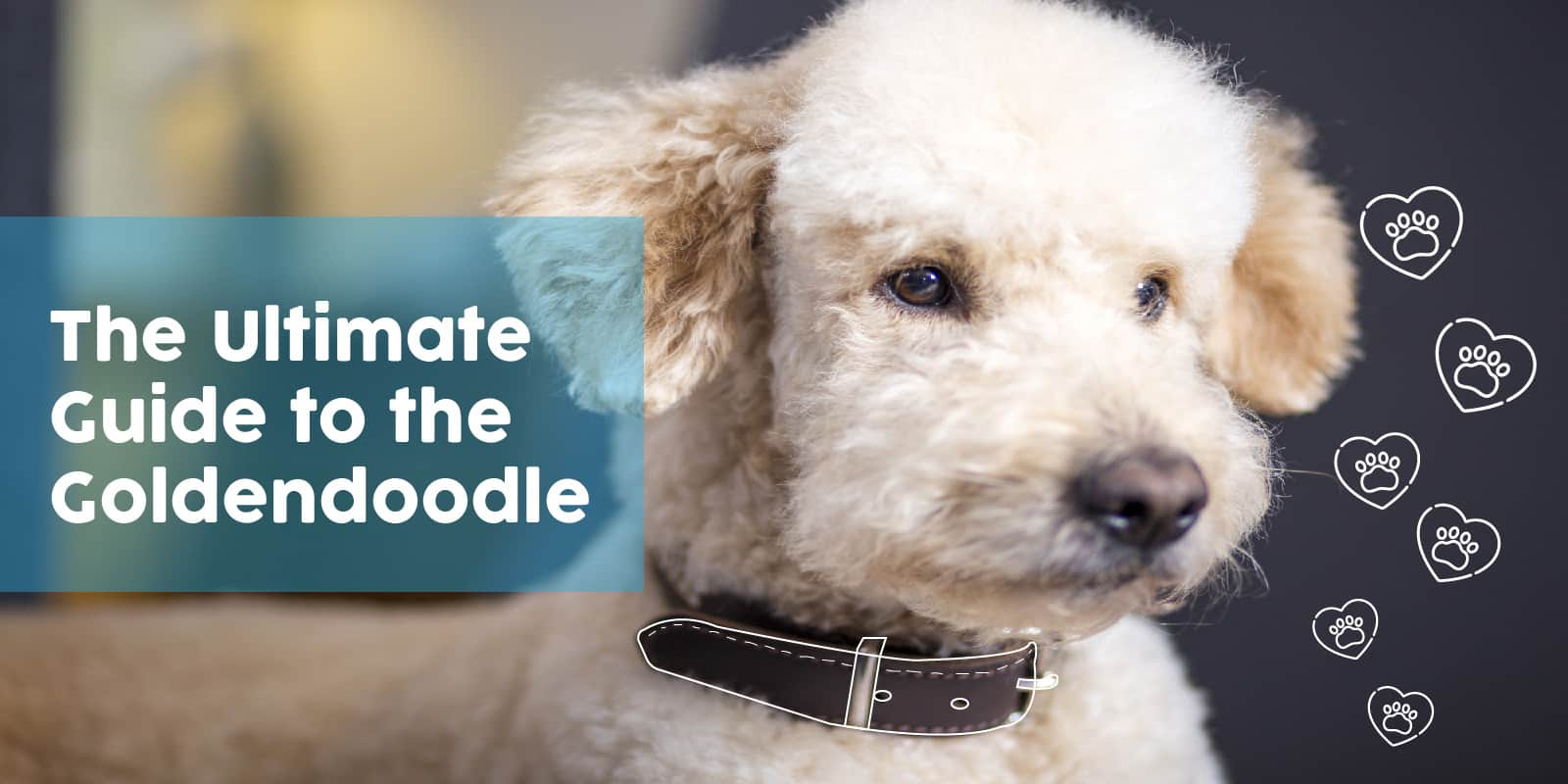 The Ultimate Guide to the Goldendoodle