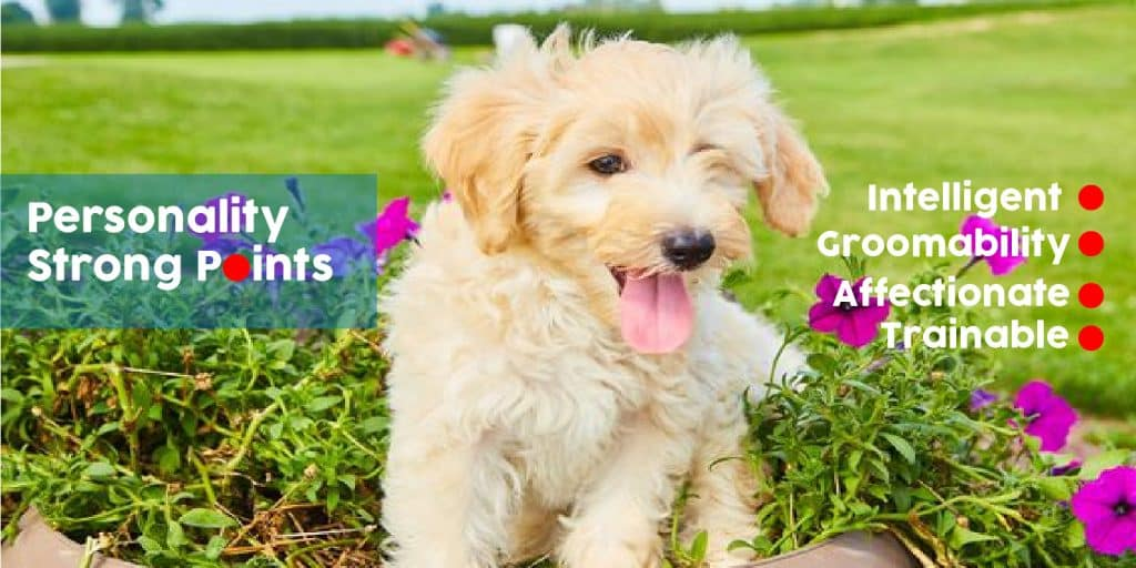 Goldendoodle personality traits