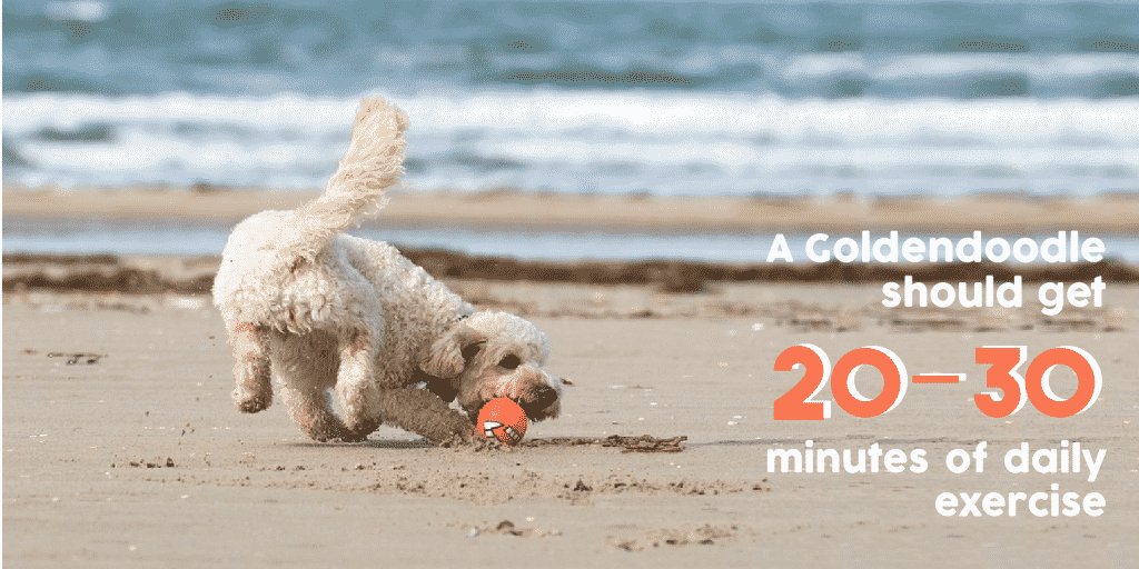 A Goldendoodle should get 20-30 minutes of daily exercise