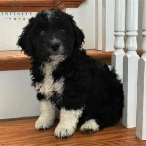 Aussiedoodle Puppies For Sale 4