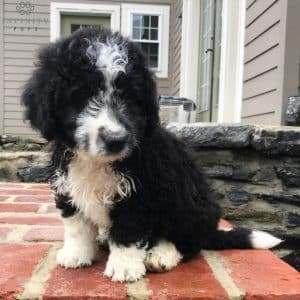 Aussiedoodle Puppies For Sale 1