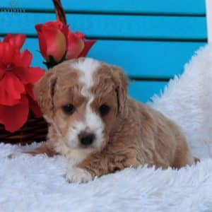 Mini Goldendoodle Puppies For Sale 9