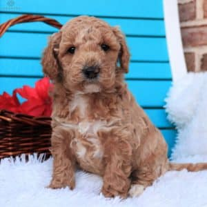 Mini Goldendoodle Puppies For Sale 12