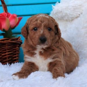 Mini Goldendoodle Puppies For Sale 14