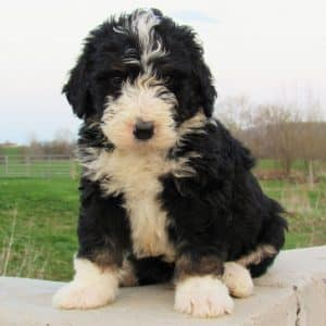 Bernedoodle Puppies For Sale 6