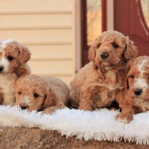 Mini Goldendoodle Puppies For Sale 11