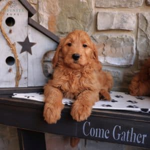 Goldendoodle Puppies For Sale 25