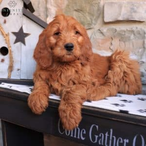 Goldendoodle Puppies For Sale 22