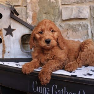 Goldendoodle Puppies For Sale 23