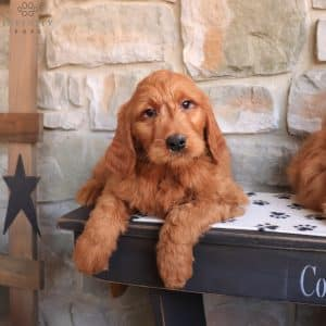 Goldendoodle Puppies For Sale 1