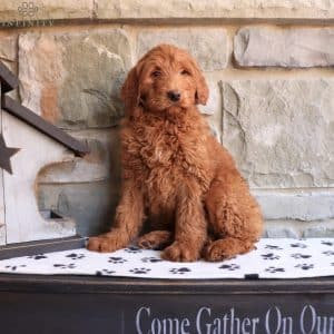 Goldendoodle Puppies For Sale 24