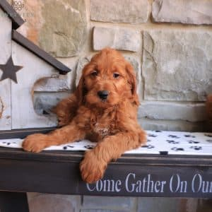 Goldendoodle Puppies For Sale 26