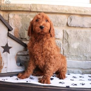 Goldendoodle Puppies For Sale 5