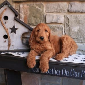 Goldendoodle Puppies For Sale 3