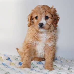 Cavapoo Puppies For Sale 9