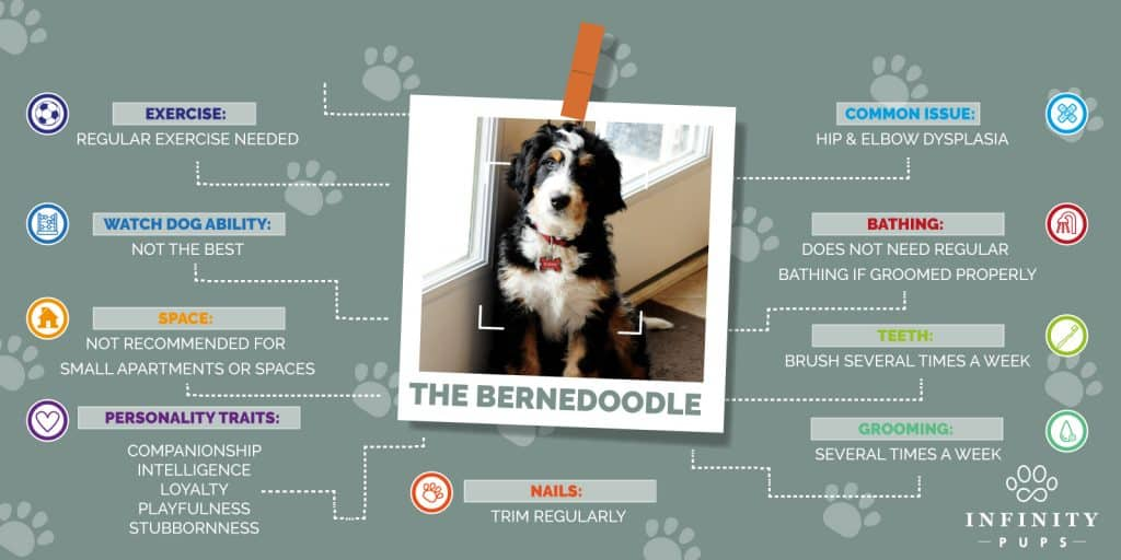 The Ultimate Bernedoodle Lover's GUIDE For 2020 2