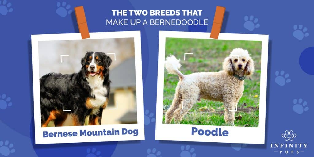 The Ultimate Bernedoodle Lover's GUIDE For 2020 1