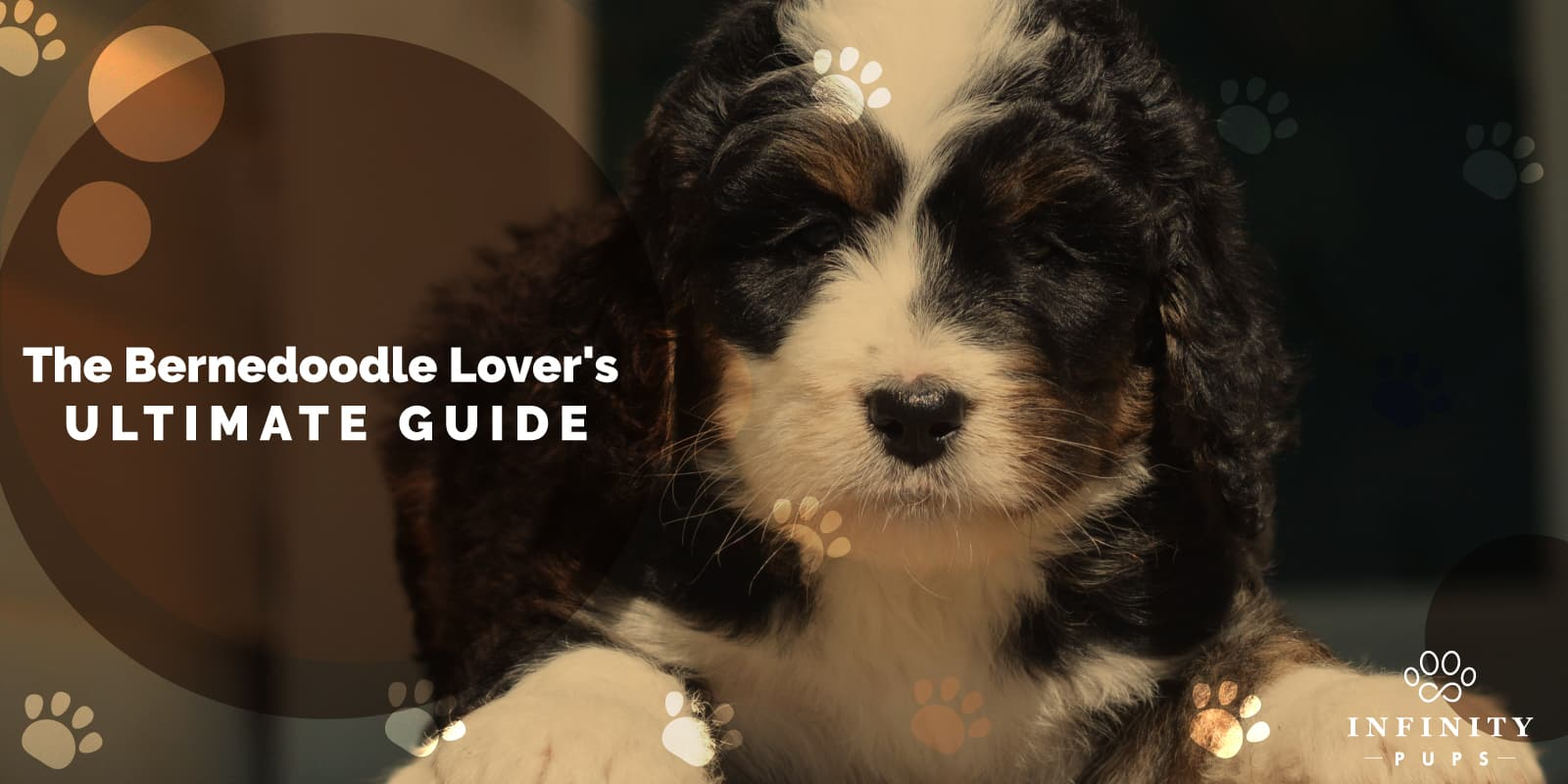 The Ultimate Bernedoodle Lover's GUIDE For 2020 3