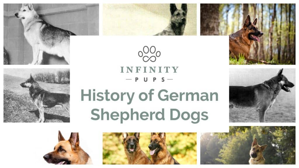 The history of a German shepherd dog