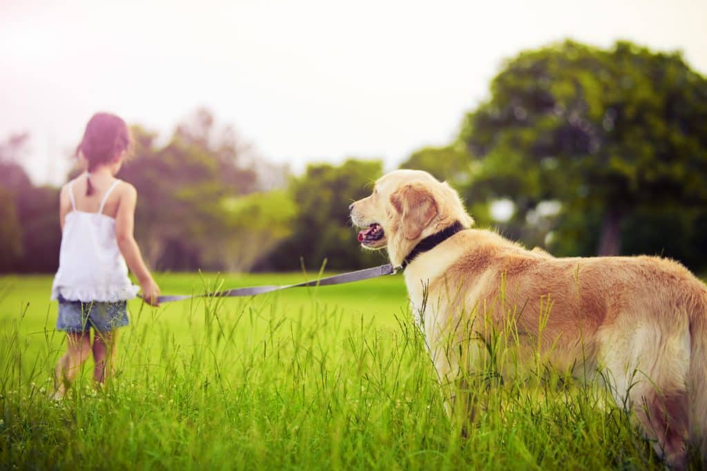 Golden Retrievers: Everything You Need to Know! 2