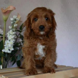 Cavapoo Puppies For Sale • Adopt Your Puppy Today • Infinity