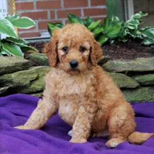 Goldendoodle Puppies For Sale • Adopt Your Puppy Today • Infinity Pups