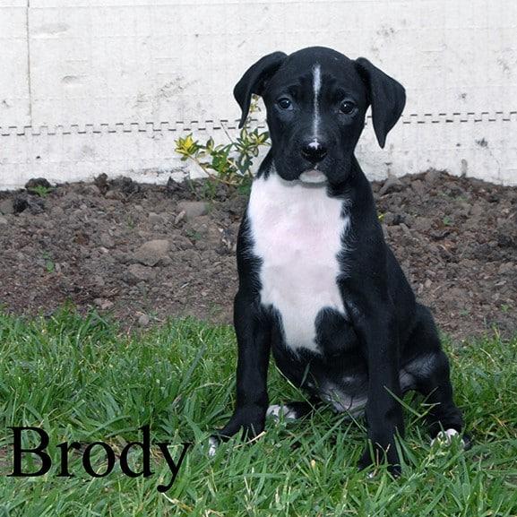 Brody 1