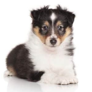 Puppies For Sale USA • Dogs For Sale Near Me • Infinity Pups