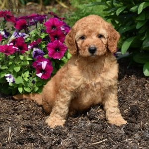Mini Goldendoodle Puppies For Sale • Adopt Your Puppy Today