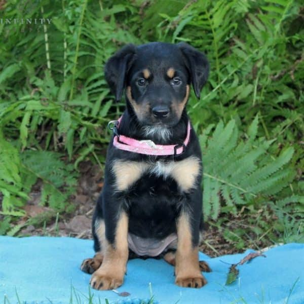 Callie - Irish Setter Mix 1
