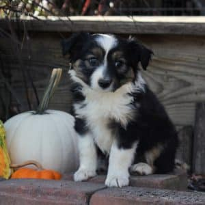 Mini Australian Shepherd Puppies For Sale 2