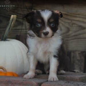 Mini Australian Shepherd Puppies For Sale 4