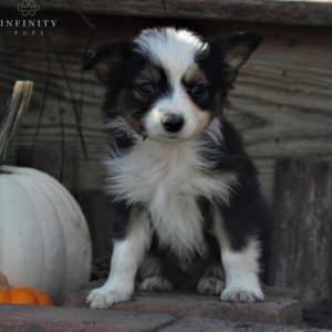 Mini Australian Shepherd Puppies For Sale 1