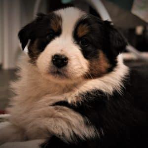 Australian Shepherd Puppies For Sale 2
