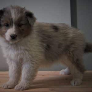 Australian Shepherd Puppies For Sale 7