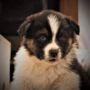Australian Shepherd Puppies For Sale 5