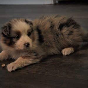 Australian Shepherd Puppies For Sale 8