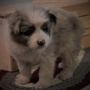 Australian Shepherd Puppies For Sale 9