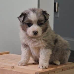 Australian Shepherd Puppies For Sale 6