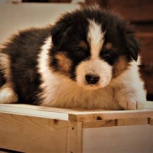 Australian Shepherd Puppies For Sale 4