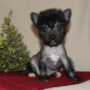 Chinese Crested Puppies For Sale 1
