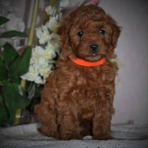 Mini Poodle Puppies For Sale Adopt Your Puppy Today