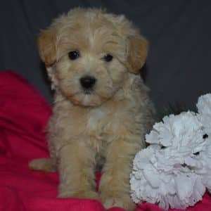Eskipoo Puppies For Adopt Your