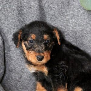 Yorkiechon Puppies For Sale 2
