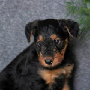 Yorkiechon Puppies For Sale 4