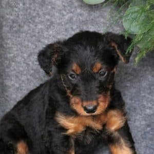 Yorkiechon Puppies For Sale 7