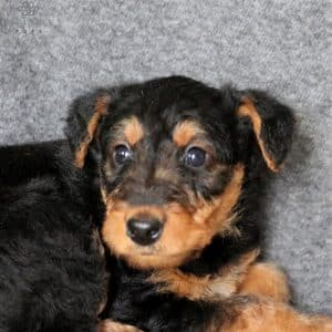 Yorkiechon Puppies For Sale 5
