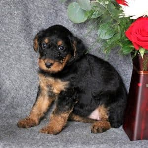 Yorkiechon Puppies For Sale 3