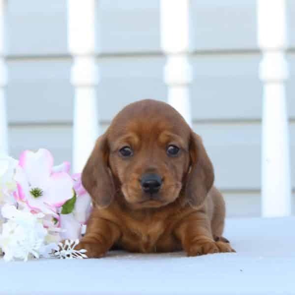 Tammy - ACA • Infinity Pups